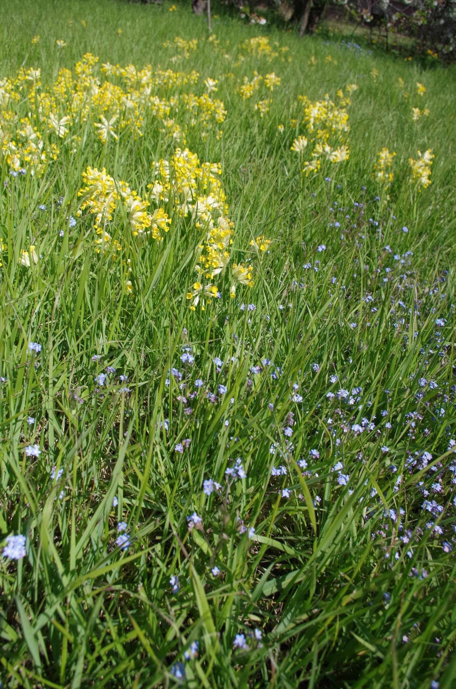 Gelbe Schlüsselblumen locken Hummeln auch auf Grünflächen