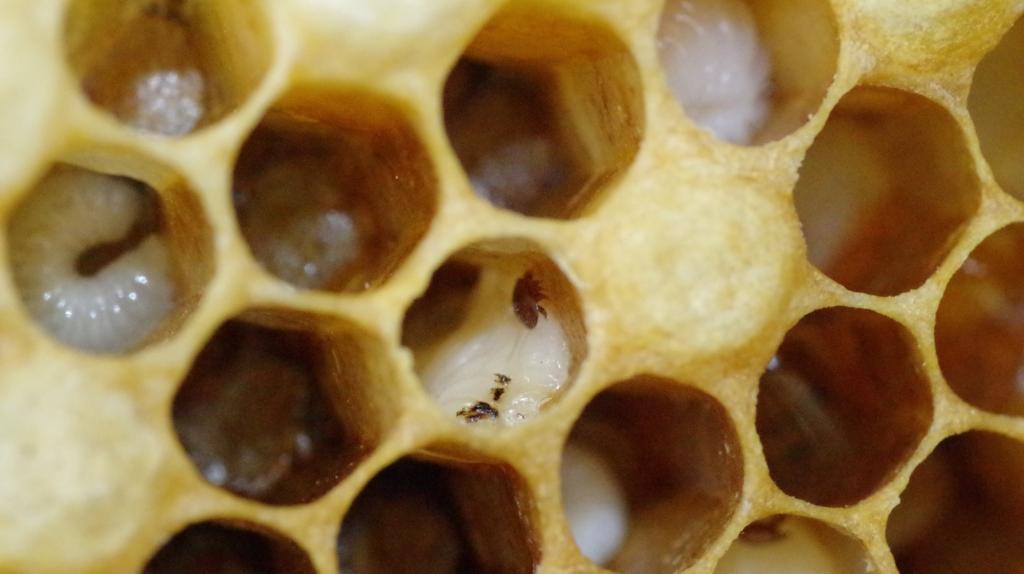 <strong>Je nach Typ der Faulbrut kann das auch in noch offenen Zellen auftreten. Dann hat selbst die Varroa-Milbe nichts mehr zu lachen.</strong>
