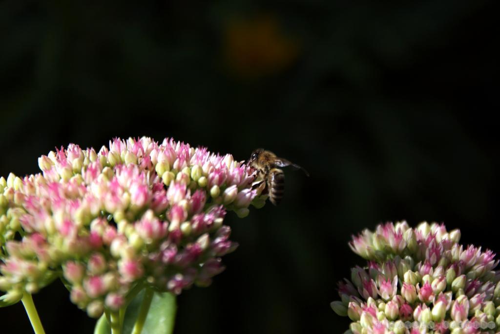 Biene an Fetthenne - spät im Jahr gern gesehen