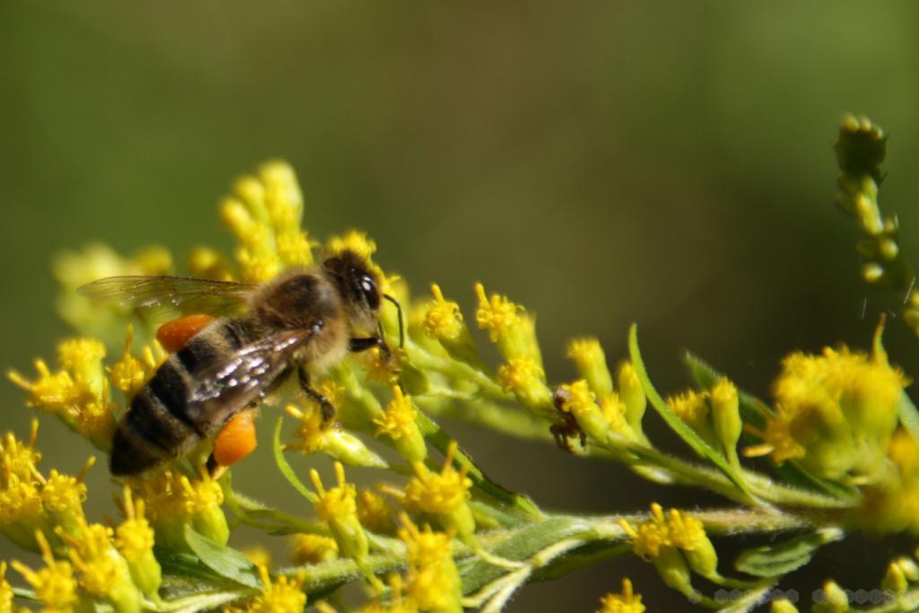 Die Kanadische Goldrute liefert Dottergelben Pollen.