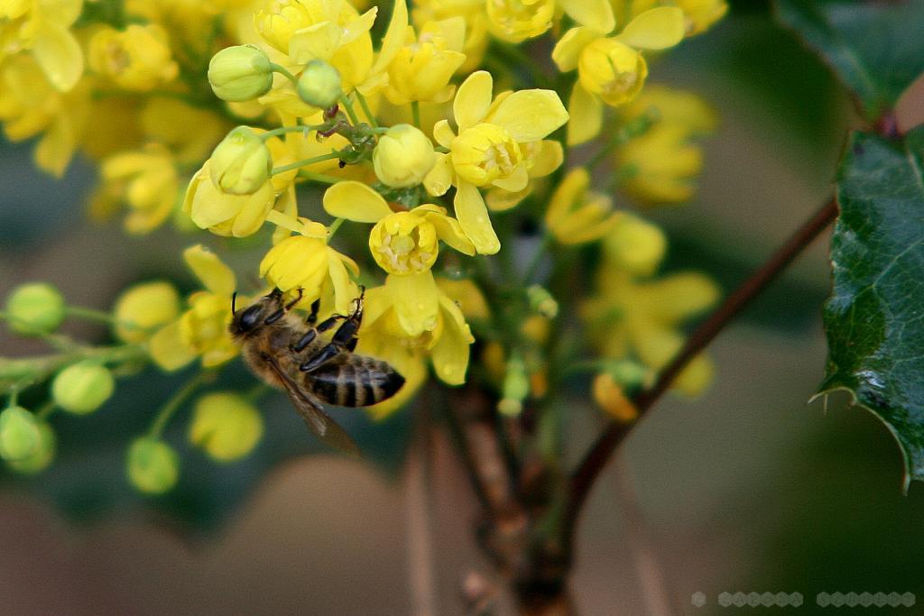 Die Mahonie wird aber auch gern von den Bienen beflogen.