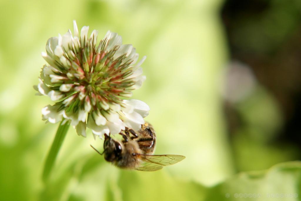 Biene am Weißklee