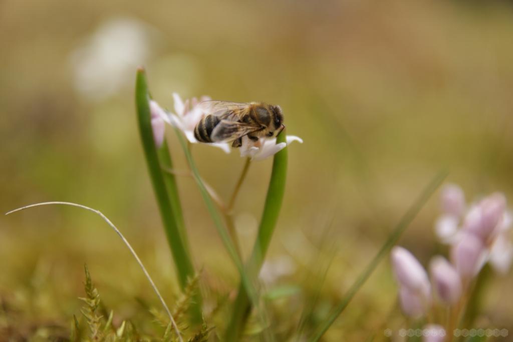 Wie groß die Biene im Vergleich zur Blüte ist...