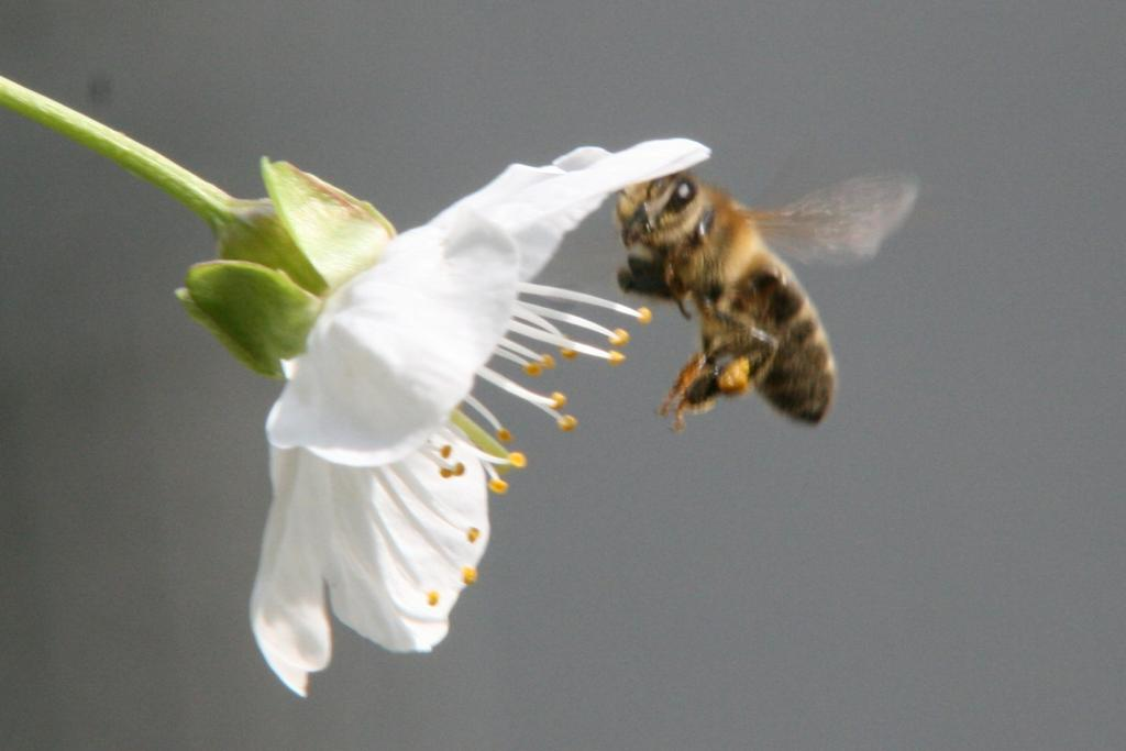 Biene im Anflug an eine Kirschblüte