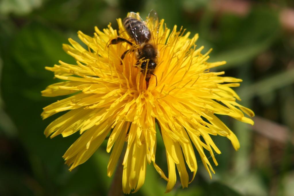 Biene wuschelt durch den Löwenzahn