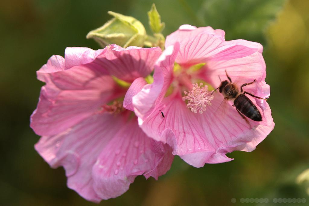 Honigbiene und winzige Wildbiene in einer Buschmalvenblüte