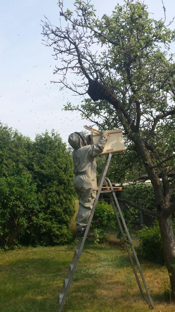Der Klassiker: Bienenschwarm im Obstbaum (Bild von G. Krämer, Schwarmfänger: M. von Orlow)