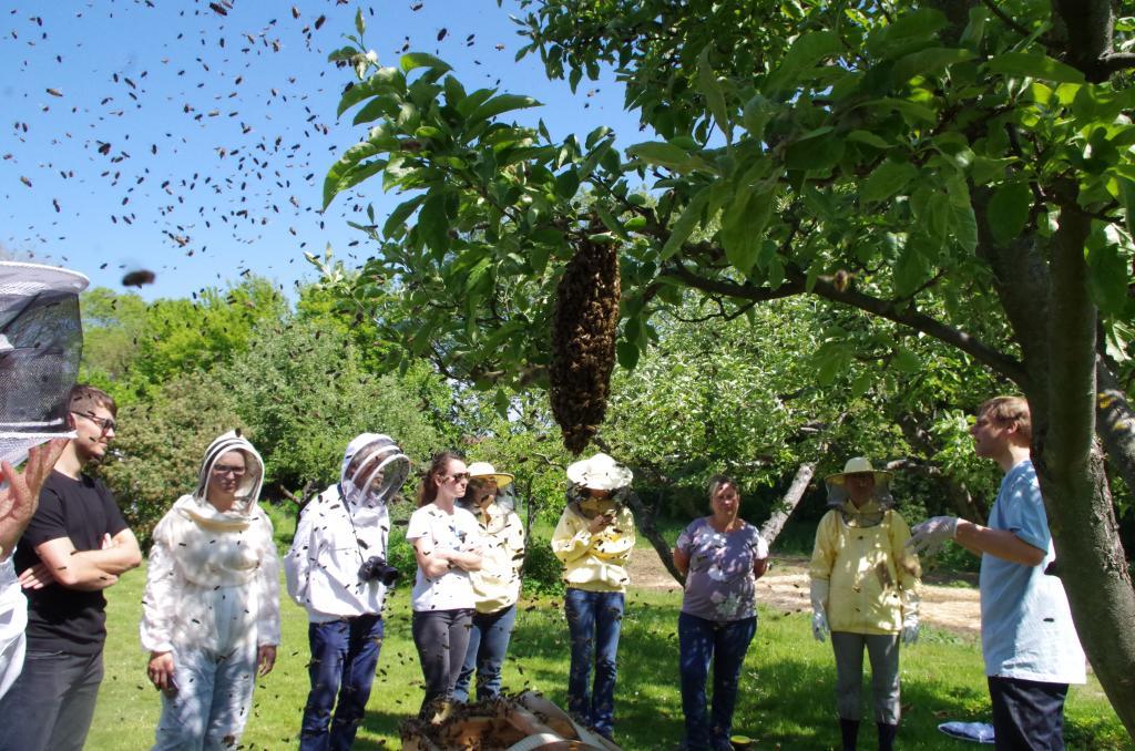 Nicht alle Bienen wollen in die Kiste - ein Nachschwarm sammelt sich.