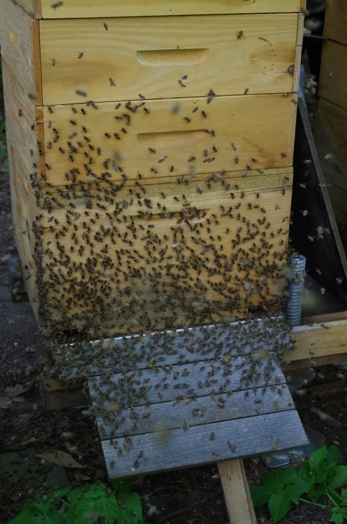 Am Ende zieht ein Großteil der Schwarmbienen zurück in die Beute.