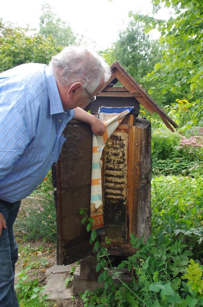 Frank Reichardt besucht ein kapitales Hornissenvolk in der Schaubeute.