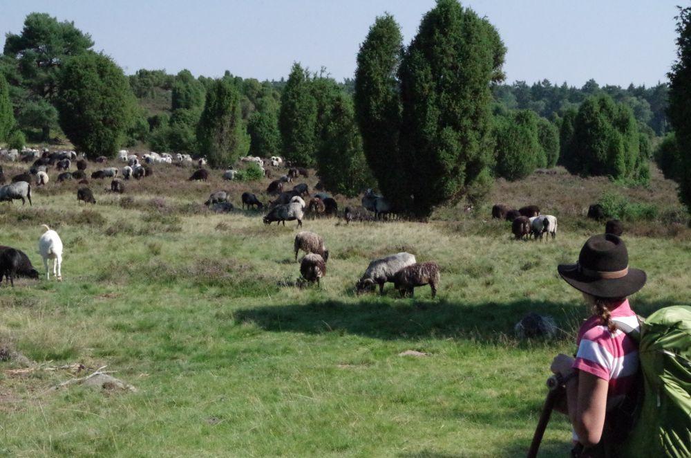 Landschaftspfleger im Einsatz - 600 Mäuler & 1 Schäferin (zzgl. 2 Hunden)