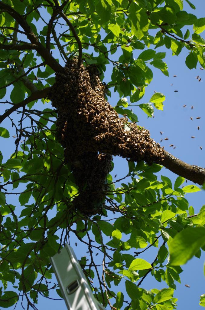 Der frisch gefallene Schwarm im Obstbaum