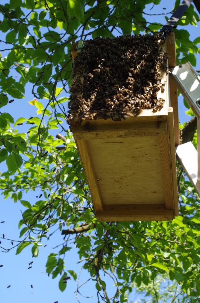 Im Kasten abgestossen wurde dieser dort für den Rest des Tages aufgehangen damit die restlichen Bienen sich dort sammeln können. Über das Absperrgitter laufen sie zu.