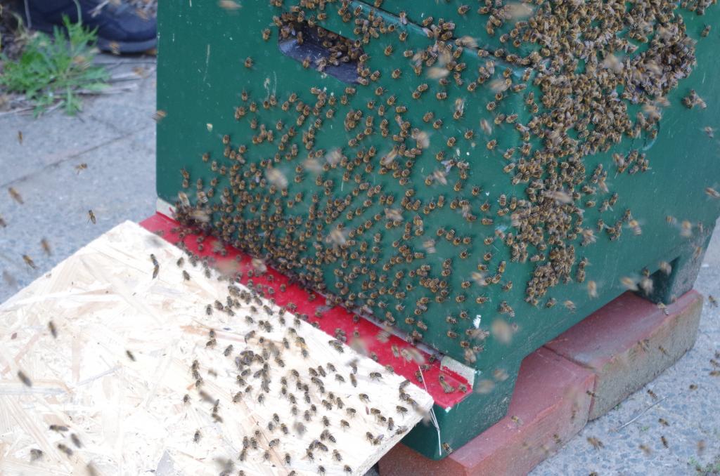 Auf der Kiste werben Bienen mit dem Schwänzeltanz und immer mehr laufen ein.