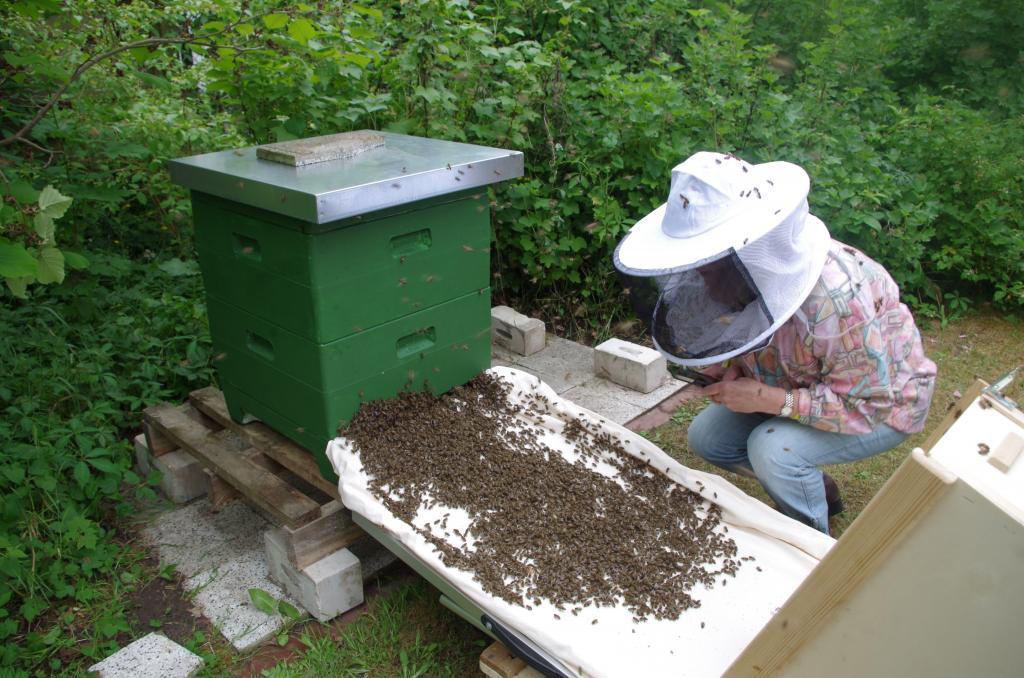 Einlauf der ersten eigenen Bienen in das neue Heim (Bild von M. von Orlow, Imkerin: C. Schumann)