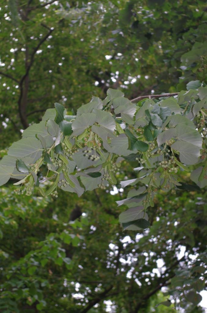 Die Silber-Linde hat größere Blätter als die Krim-Linde und silbrig-graue Blattunterseiten.