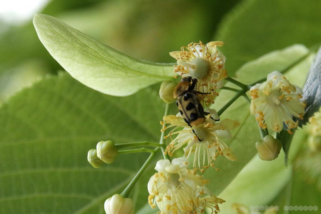 Pinselkäfer in der Linde - aber keine Sorge, die Bienen bekommen genügend ab...