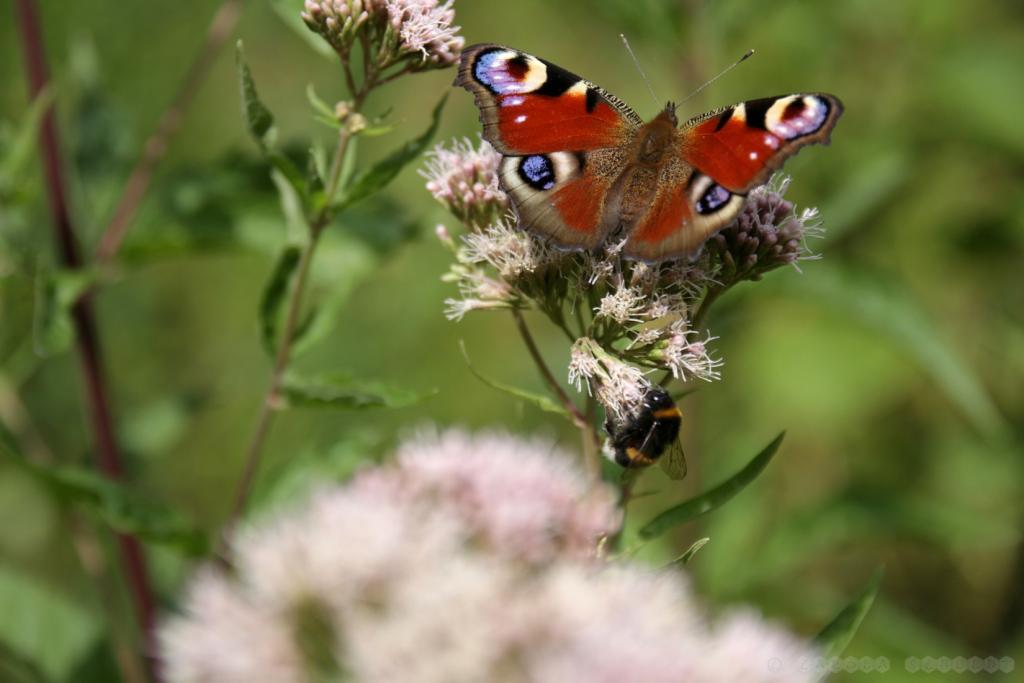Schmetterling und Hummel an gewöhnlichem Dost