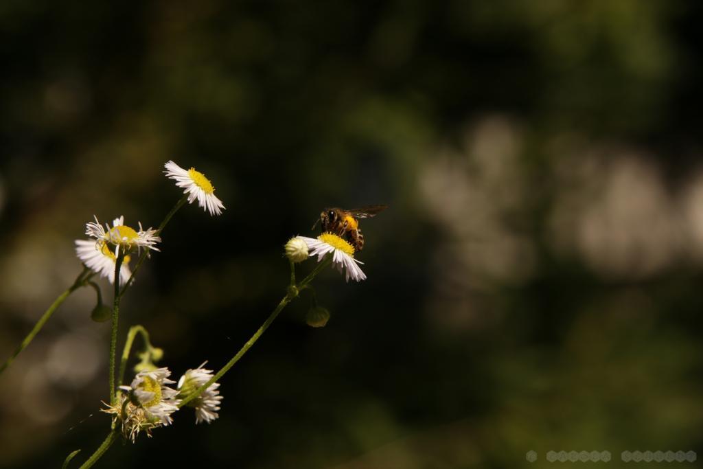 Wildbiene am Feinstrahl