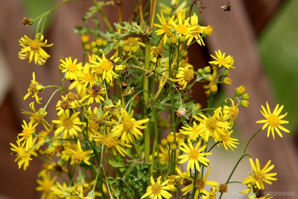Jabkobs-Kreuzkraut ist nicht unproblematisch im Honig, aber diese Wildbienen sammeln definitiv nicht für den Imker.